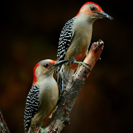 Red-Bellied Woodpecker Couple by Q  by Paul Mays - Animals Birds