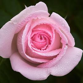 0 Rose 9805~ by Raphael RaCcoon - Flowers Single Flower