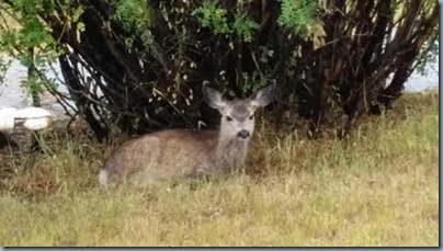 baby deer1
