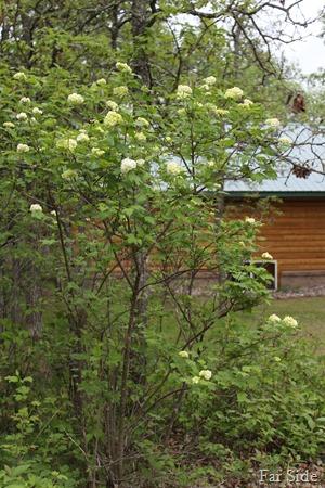Snowball bush quite tall