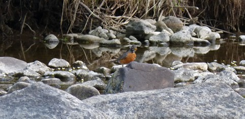 Robin in Truckee River