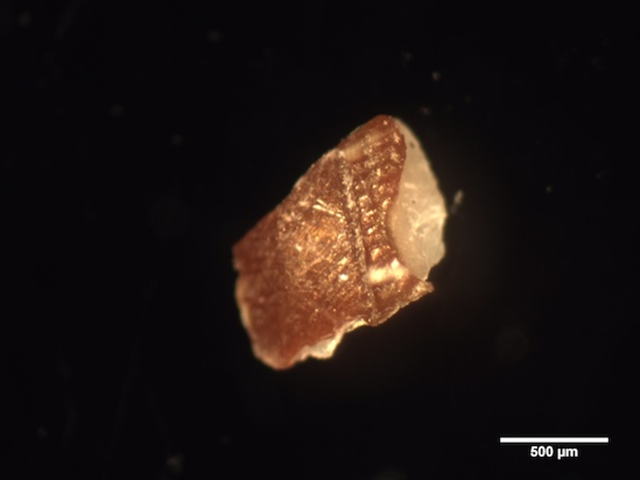 A plastic fragment, here seen under a microscope, extracted from a fish sold at market. UC Davis researchers found plastic and fibrous debris in 25 percent of fish sold to consumers in Indonesia and California. Photo: Rosalyn Lam