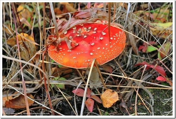 150911_AlaskaBG_mushroom