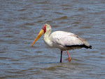 Yellow-billed stork at Mkhuze Game Reserve (photo by Clare)