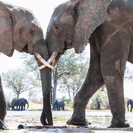 elephant greeting  by Andy Dow - Animals Other Mammals ( animals, greeting, elephant, wildlife, africa )