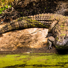 by Willer Gomes - Animals Reptiles