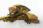 Dark Pinstripe crested gecko breeding pair, Abraxas X Abernathy.