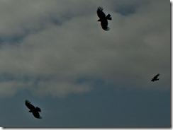 red kites flying (2)