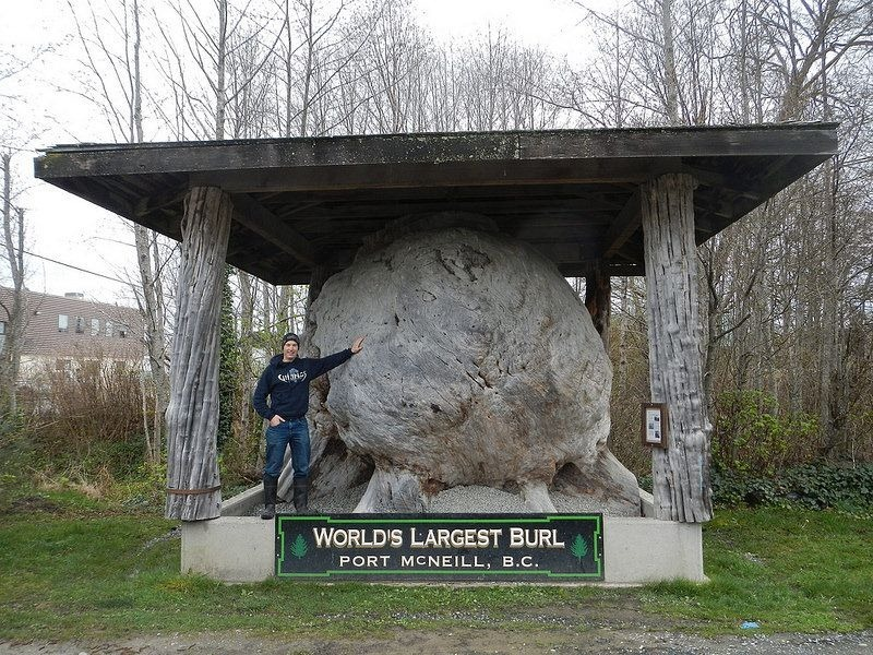 largest-burl-port-mcneill-1