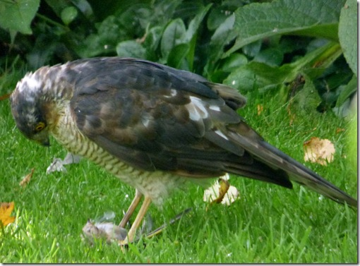 B.Sparrowhawk