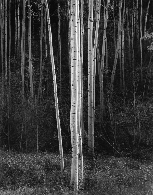 더스트림_Ansel Adams, Aspens, Northern New Mexico, 1958.jpg