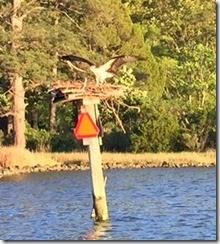 Piankatank Edwards osprey 4