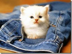 77- gatos blanco o crema (13)- buscoimagenes
