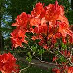 Domaine de Courson : rhododendron