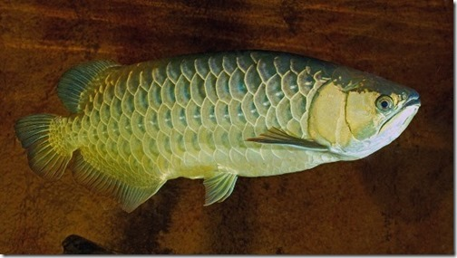 be-ca-canh-silver_asian_arowana_cathanhlong-be-thuy-sinh