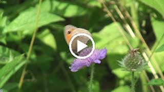 Bruin zandoogje peurt nectar uit de bloemen