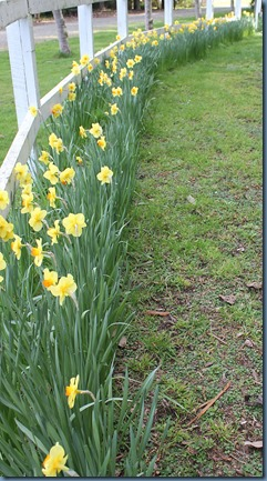 Daffodils on the fenceline