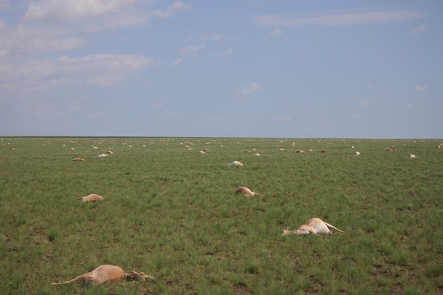 60,000 dead saigas dot the landscape in central Kazakhstan, in May 2015. Over a four period, the entire herd — about 60,000 saigas — died off. Workers struggled to keep up with the mass dying, quickly burying the dead animals in heaps. Photo: Sergei Khomenko / FAO