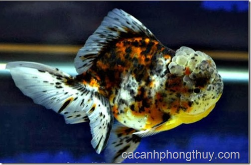 ca-vang-ranchu-gold-fish-ngu-hoa