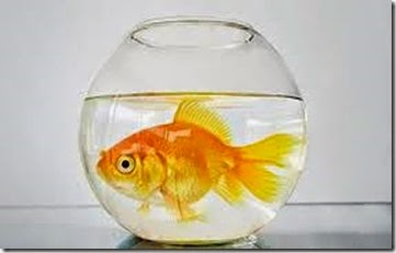 goldfish-in-a-bowl-5