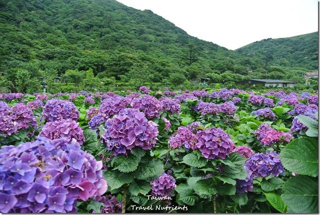 陽明山繡球花 (42)