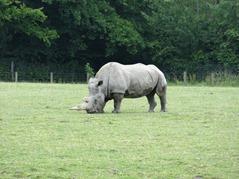 201506.21-032 rhinocéros blanc