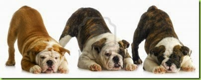 13291097-litter-of-puppies--three-english-bulldog-puppies-bow