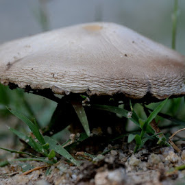 Mushroom in my yard by Missy Moss - Nature Up Close Mushrooms & Fungi