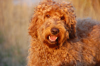Sire Tennison handsome red labradoodle.