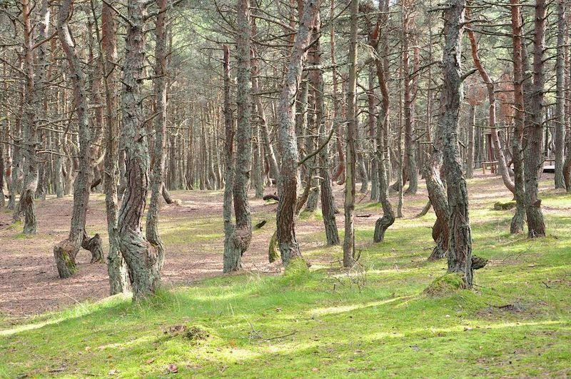 dancing-forest-kaliningrad-6