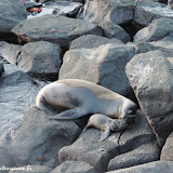Lobo marinho recém-nascido e sua mamãe - San Cristóbal, Galápagos