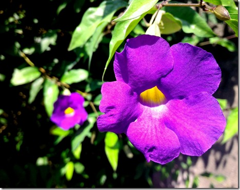 purple Bali flower