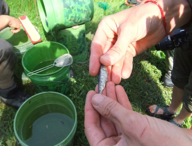 A juvenile Chinook salmon from the Klamath River shows signs of parasitic infection and disease, on 17 June 2015. Photo: Jes Burns / OPB / EarthFix