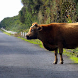 Why Did The Cow Cross The Road - Funchal, Madeira