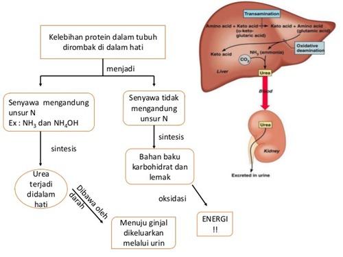 skema metabolisme protein