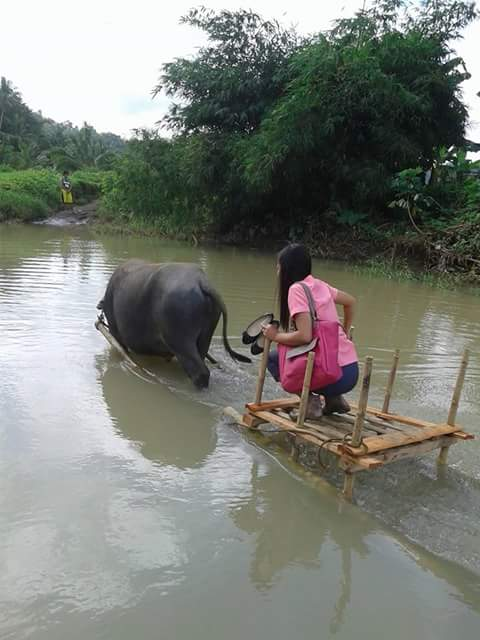 Image of a School Teacher Riding in a Carabao Sled, a bamboo-made carabao sled, bamboo cart, karusa, skilled water buffalo, Carabao cart, Carabao ride photo,Karusa Philippines, Carabao Fun, carabao photo