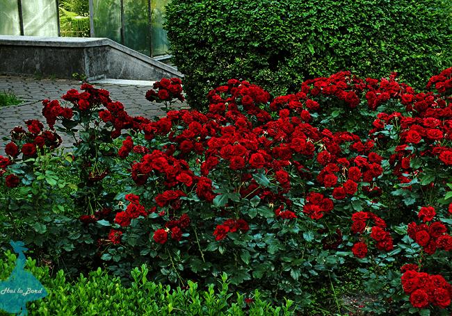 trandafiri gradina botanica cluj vara