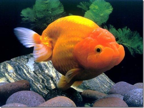 goldfish-wallpaper-hd
