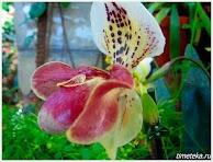 Орхидея. Ботанический сад МГУ