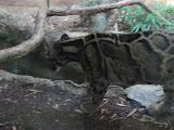 A clouded leopard at the Nashville Zoo 09032011c