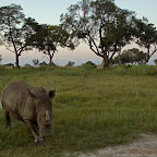Neue Heimat in Botswana. © Foto: Beverly Joubert | Rhinos Without Borders