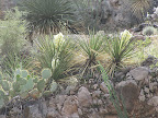 Blooming Banana Yucca - Buehman Canyon 4/22