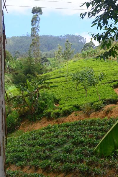 Чайные плантации, Шри Ланка
