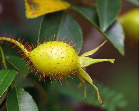 Cherokee%2520Rose Kandungan Phytochi