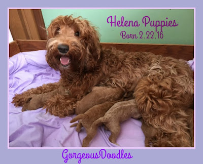 labradoodle new born puppies