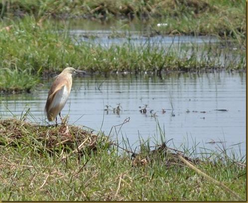 Squacco Heron, Chobe Nat'l park, Botswana