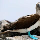 Atobá de pé azul - Cormorant Point - Floreana - Galápagos