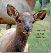 Elk at Richmond DFS (7) worded
