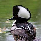 Hooded Merganser Duck (Male)