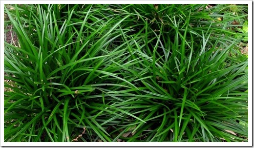 CAREX foliosissima 'Irish Green'